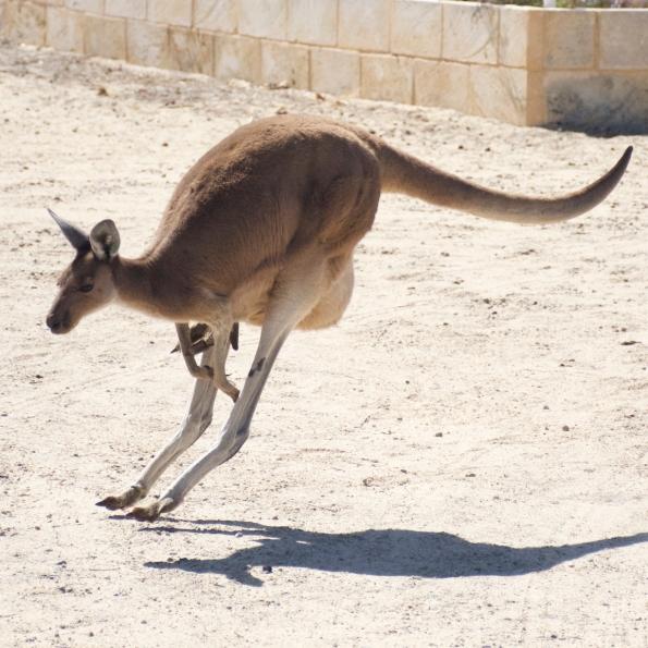Loveland kangaroo 3