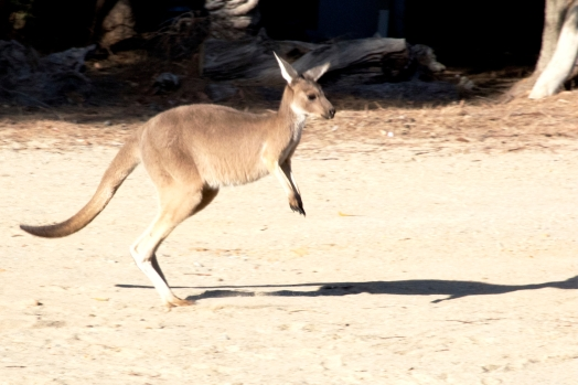 Loveland Kangaroo